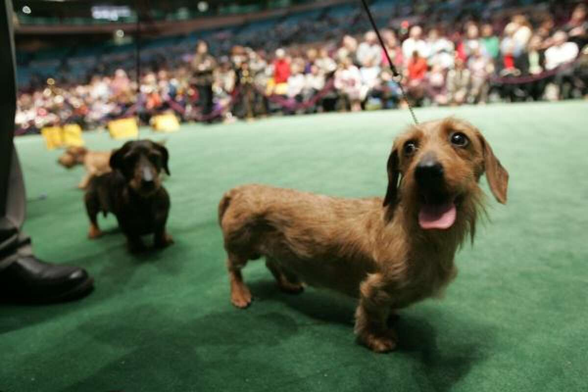 In this Feb. 14, 2006 file photo, a couple of wirehaired dachshunds are presented for competition in the ring by their handlers during the 130th Westminster Kennel Club Dog Show in New York's Madison Square Garden. The Environmental Protection Agency said Wednesday, as it outlined plans to make the products safer, it will develop stricter testing and evaluation requirements for flea and tick treatments that are applied to pets' skin.