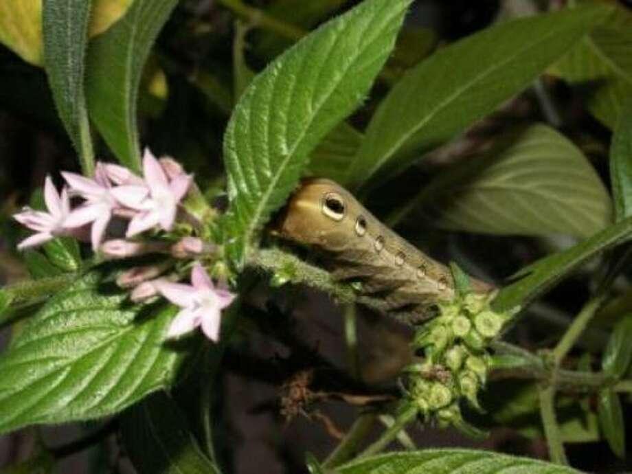 Swallowtail caterpillar on penta. Photo: Hibiscusfan, / Chron.commons