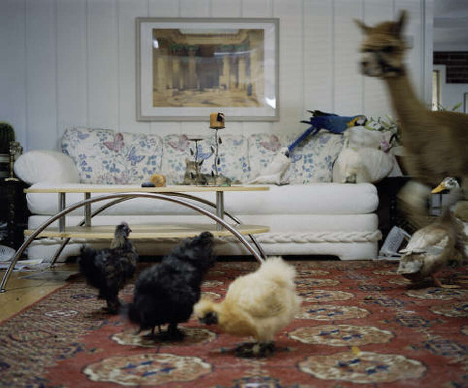 "Dogs, cats, chickens, birds and even a llama roam a living room in artist Corinna Schnitt's video ""Once Upon a Time,"" part of The New Normal exhibit at DiverseWorks. Photo: GALLERY OLAF STUEBER, BERLIN"