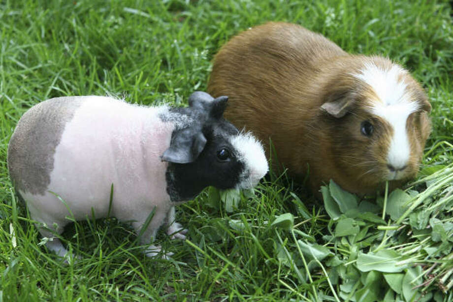 "At a ""pignic,"" a gathering of guinea pig enthusiasts, a skinny pig, left, takes a look at a white crested guinea pig. Photo: Tammy Raabe Rao: Cavymadness.com"