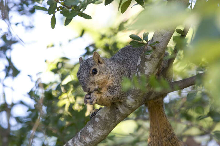 The Eastern fox squirrel can be found in the eastern two-thirds of Texas. Some people love them and some hate them. Photo: Kathy Adams Clark