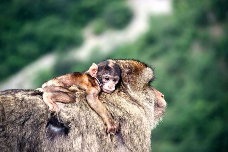 An infant Barbary macaque travels on a male Barbary macaque's backScientists now have evidence that father-focused child care may represent a primordial instinct that dates back to the dinosaurs. Photo: ANDREAS PLOSS, NYT