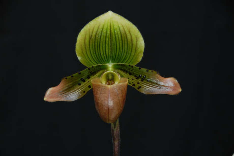 Paph. Jungle Fever 'Green Fire' (Jungle Meadow x Master's Touch) Photo: Malcolm McCorquodale, For The Chronicle