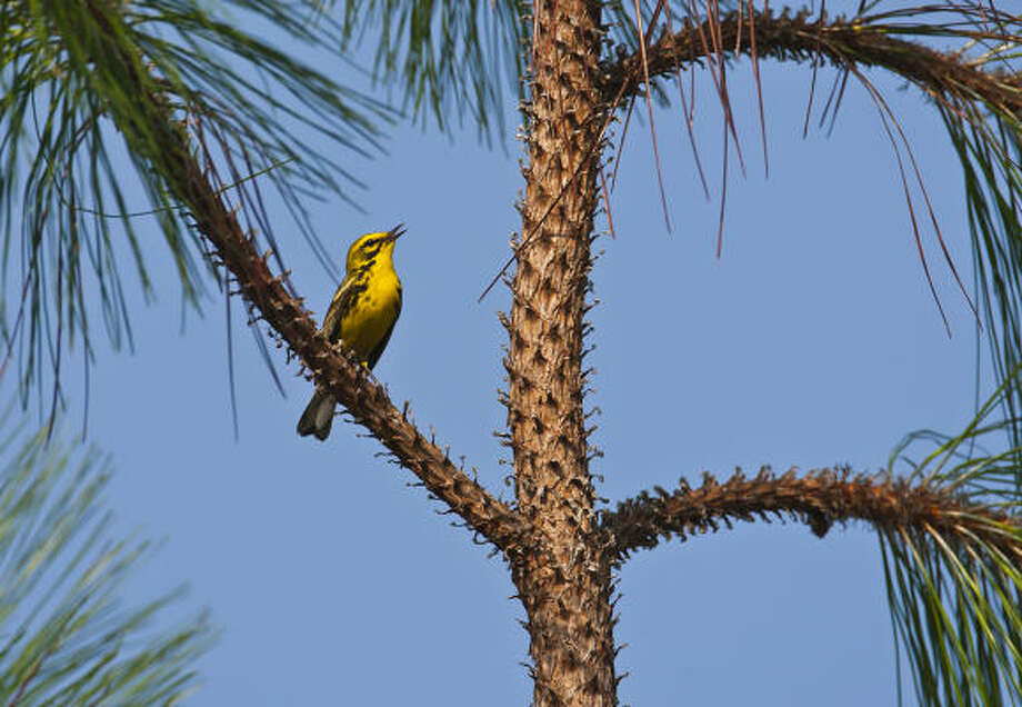 Birds such as this prairie warbler draw bird-watchers to the Angelina National Forest in spring and early summer. Photo: Kathy Adams Clark