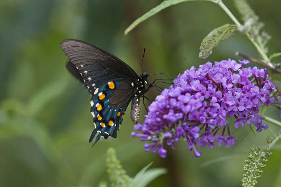 The pipevine swallowtail is noxious to predators, so several other butterflies mimic its appearance. Photo: Kathy Adams Clark