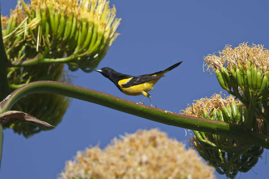 Desert wildlife, including the Scott's oriole, are drawn to Havard agave blooms in the desert for their high nectar content. Photo: Kathy Adams Clark