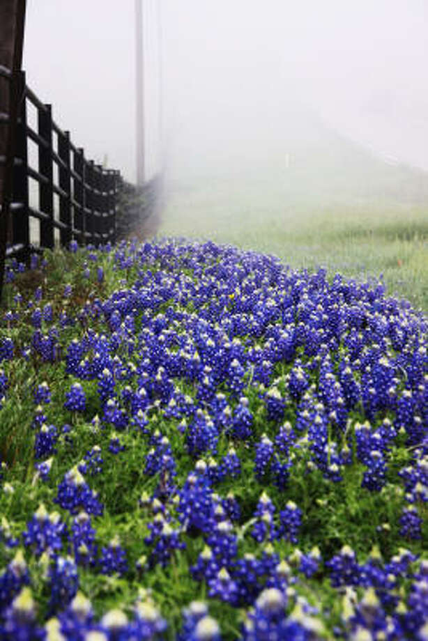 Bluebonnets at a fence in the fog. Photo: Coph, Chron.commons