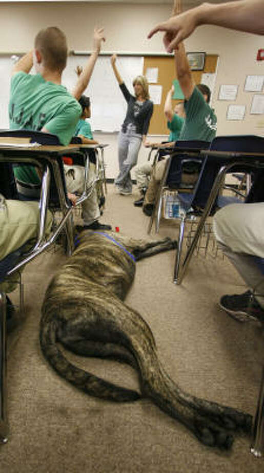 Bruno takes a break between desks in the class where he and Joy Southard, head of Healing Species Texas, work with the students. Photo: Karen Warren, Chronicle