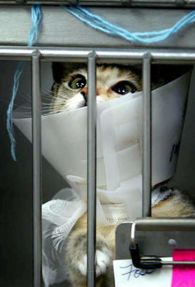 A little kitten named Foster recently had some medical procedures done and is doing fine. Photo: CASEY CHRISTIE, AP