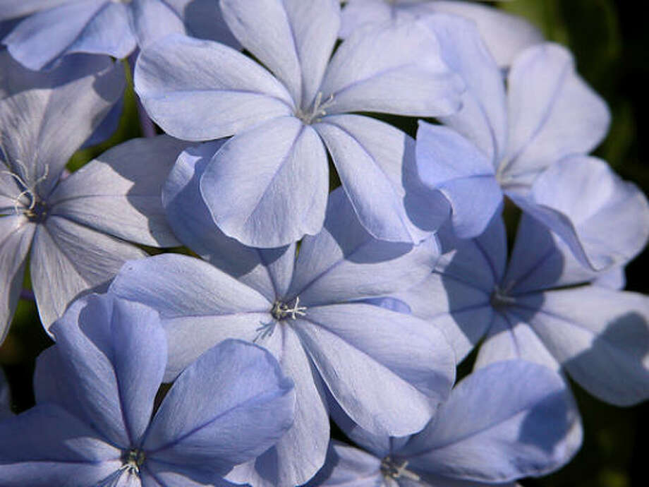 Plumbago Photo: Carl E Lewis, / Flickr.com