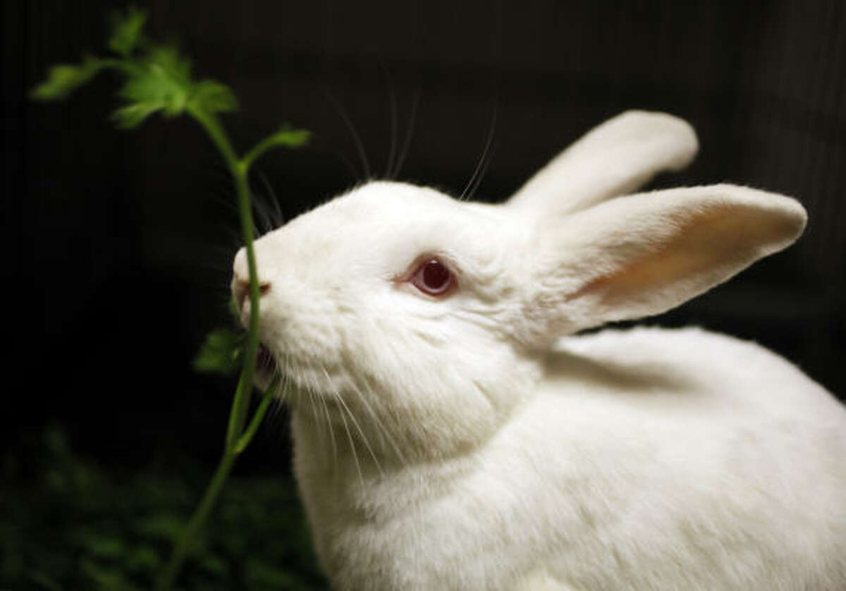 Owners of bunnies kept outdoors could be cited if their cages are within 100 feet of other homes, schools or churches.