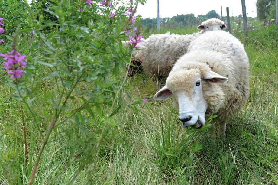 A sheep grazes near a Purple Loosestrife at the Normanskill Farm in Albany, N.Y. on Tuesday, Aug. 2, 2011.  (Lori Van Buren / Times Union) Photo: Lori Van Buren