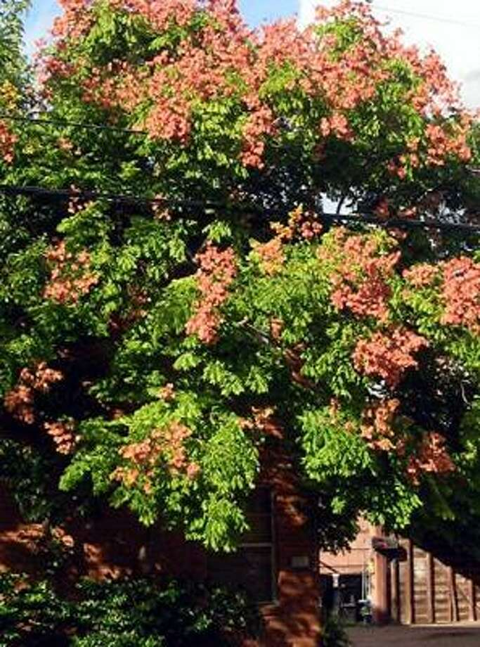 Late summer brings the sprays of salmon and coral of the rain tree, Koelreuteria bipinnata. Photo: Suzy Fischer, Urban Harvest