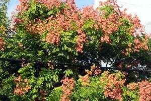 Late summer brings the sprays of salmon and coral of the rain tree, Koelreuteria bipinnata.