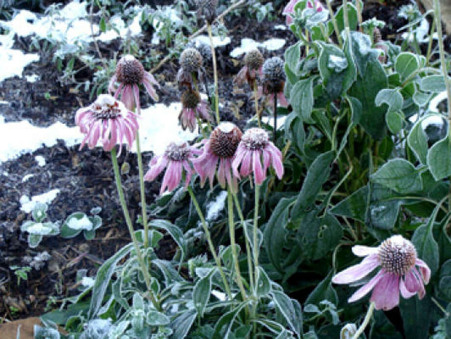Snowy coneflowers in Katy, December 2009. Photo: My Corner Of Katy, Chron.commons