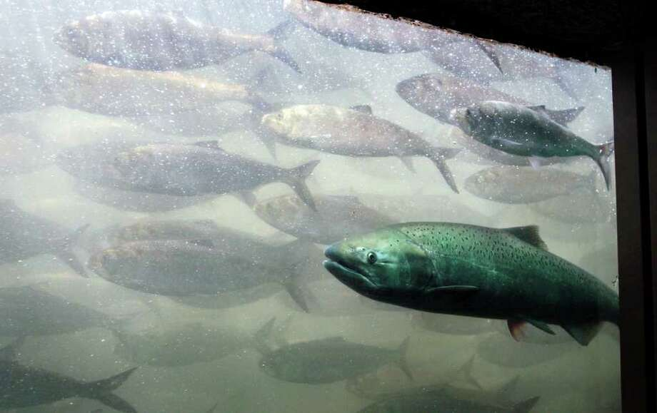 A chinook salmon, along with a school of shad, pass through the viewing room at McNary Lock and Dam on the Columbia River near Umatilla, Oregon. Photo: Jeff T. Green, Jeff T. Green/Getty Images / 2005 Getty Images