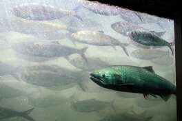 UMATILLA, OREGON - JUNE 7:  A chinook salmon, along with a school of shad, pass through the viewing room at McNary Lock and Dam on the Columbia River, June 7, 2005 near Umatilla, Oregon. In late May 2005, a federal judge in Portland, Oregon rejected the Bush administration's $6 billion plan to improve dams on the lower Snake River and Columbia River ruling it failed to protect threatened and endangered salmon under the Endangered Species Act. An estimated 53,000 chinook salmon have passed through the two fish ladders at McNary to date in 2005.