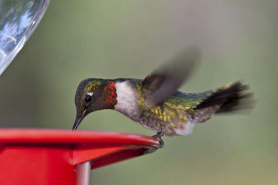 It's time for the fall hummingbird migration. Fill up the feeders, because millions of hummingbirds, such as this male ruby-throated hummingbird, are heading our way. Photo: Kathy Adams Clark