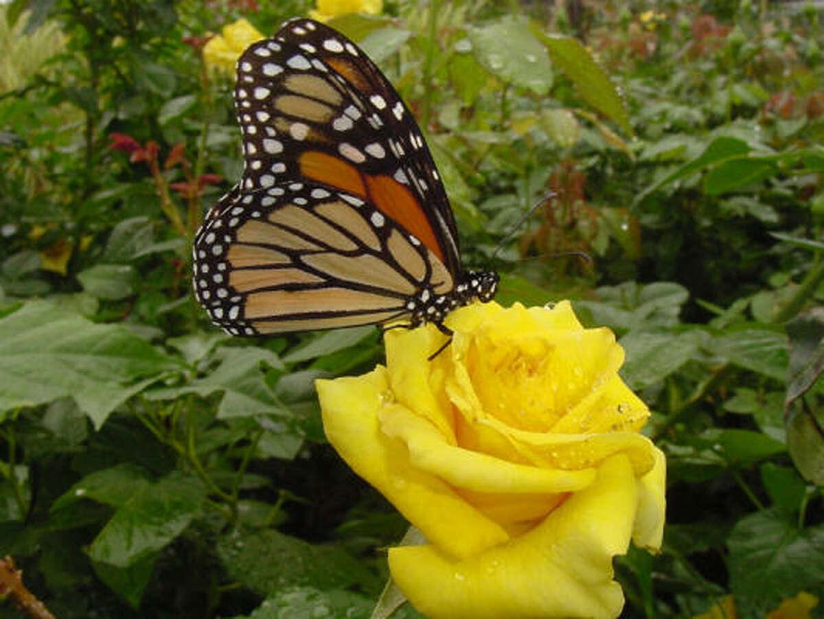 'Grandma's Yellow' rose