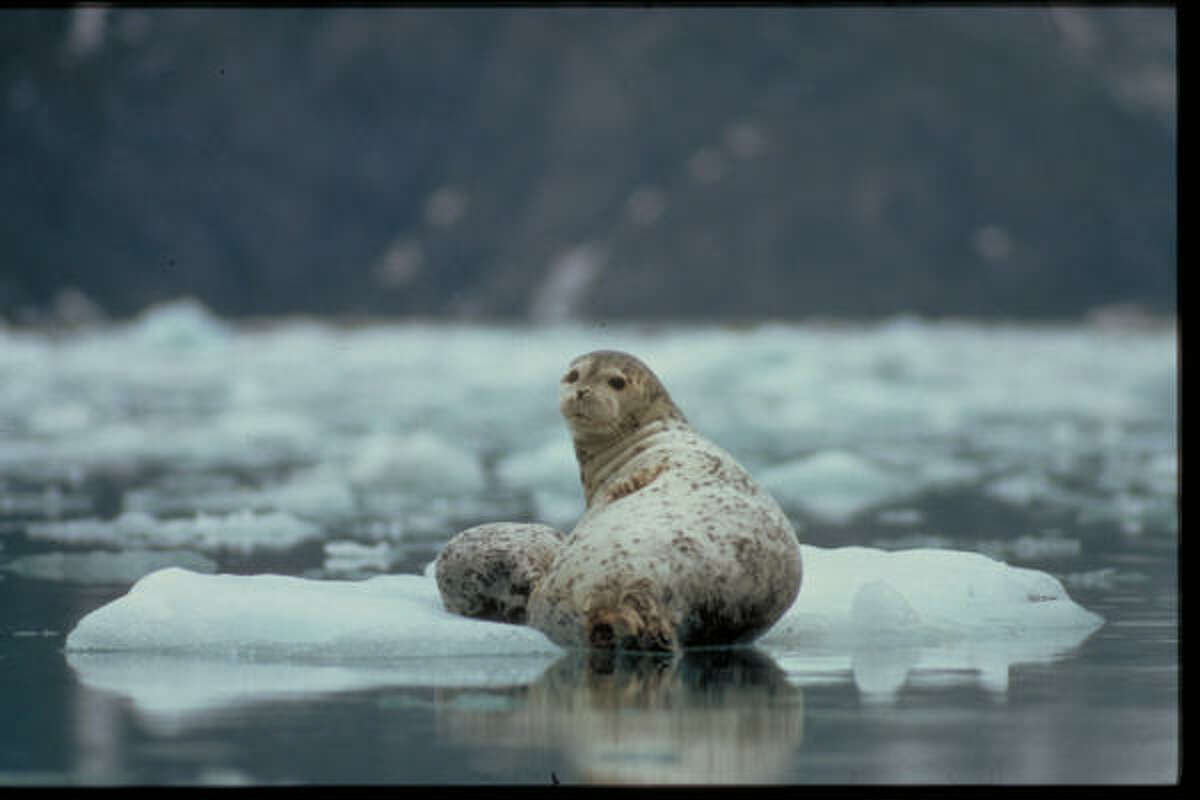 A harbor seal and pup relax on an iceberg in Alaska's Glacier Bay National Park.