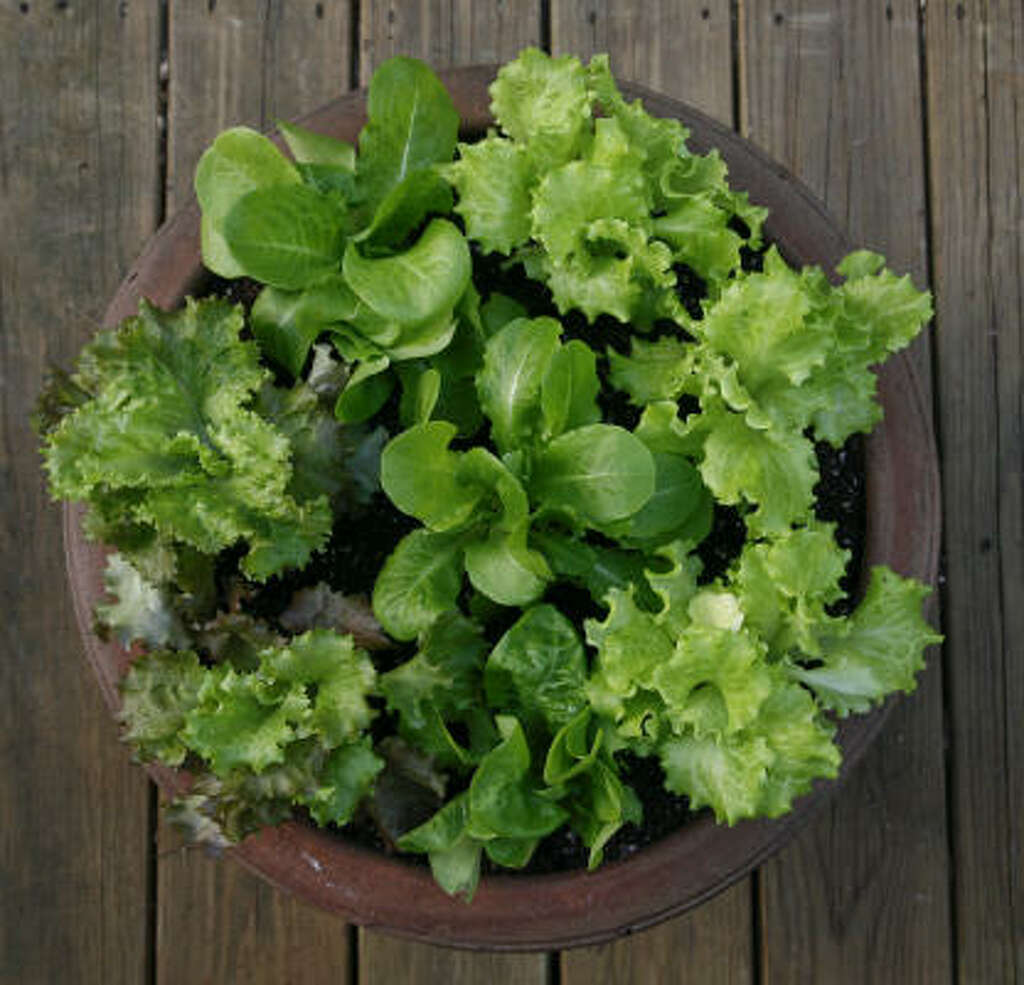 Growing lettuce in a pot - The Beginnings Of A Salad Are As Close As The Patio With Lettuce Grown In A