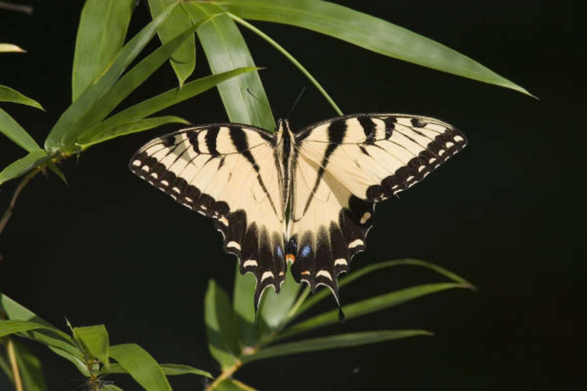 Tiger swallowtail butterflies help ring in the Chinese Year of the Tiger.