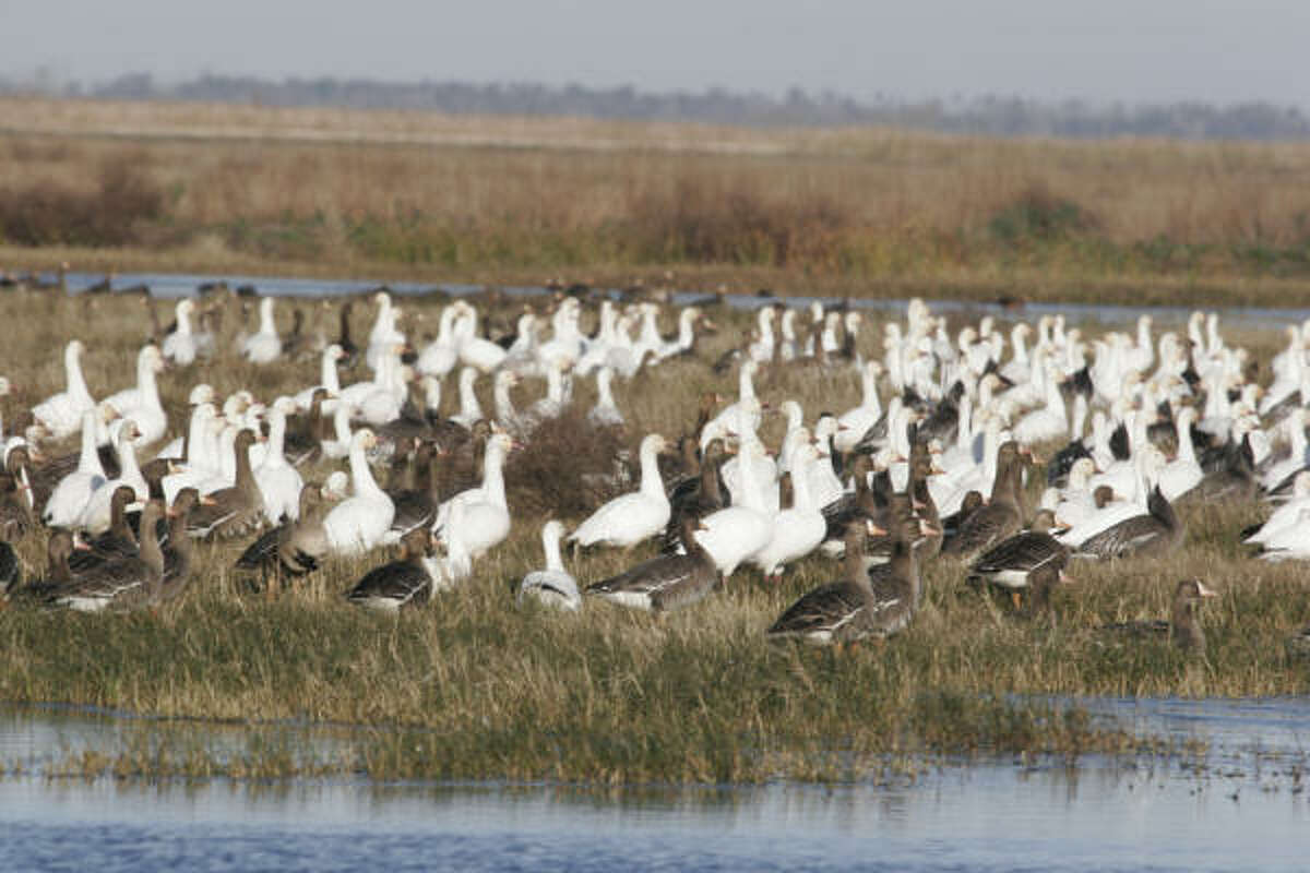 Although the recent estimate of 431,000 snow geese wintering on prairie and marsh along the Texas coast is the highest in three years, it is below the average for the past decade and far below the average population estimate of almost 862,000 seen during 1990-2000.