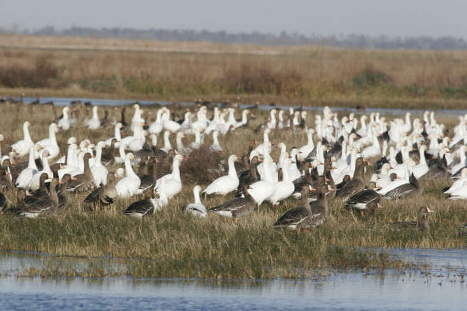 Although the recent estimate of 431,000 snow geese wintering on prairie and marsh along the Texas coast is the highest in three years, it is below the average for the past decade and far below the average population estimate of almost 862,000 seen during 1990-2000. Photo: Shannon Tompkins, Chronicle