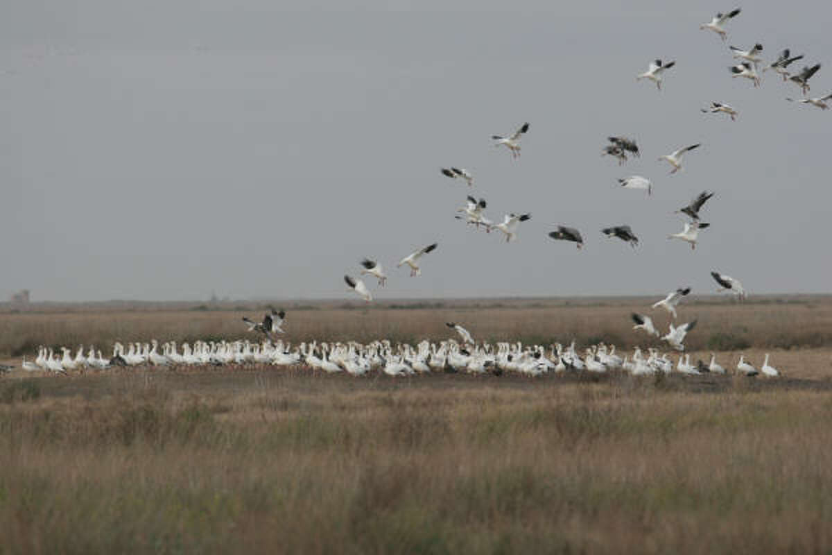 A lack of young, easier-to-decoy geese in this year's snow goose population has made for decreased hunting success this season. As with this group of snows landing in marsh, most flocks almost exclusively contain adult geese, which are much harder for hunters to fool.