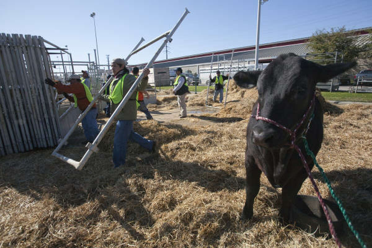 Workers break down the holding pens for livestock Sunday, the last day of the rodeo. The cow was one of the few remaining in a stockyard that only days earlier had no room to spare.