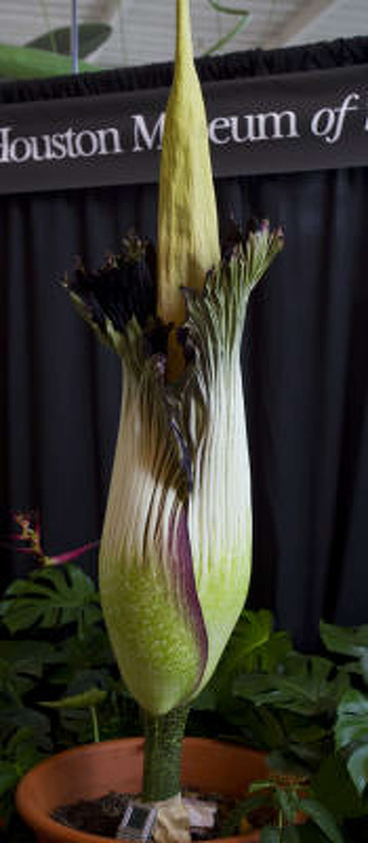 She took her time, but the corpse flower is showing her true odors. She is expected to be fully bloomed today.