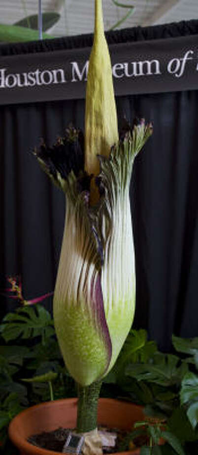 She took her time, but the corpse flower is showing her true odors. She is expected to be fully bloomed today. Photo: Karen Warren, Chronicle