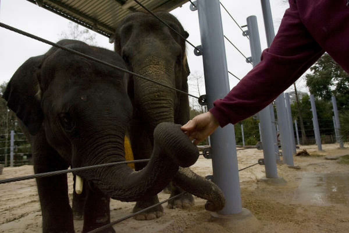 Tess, a 26-year-old Asian elephant due to give birth in the fall, and her 4-year-old calf Tucker, left, get treats Thursday after taking a walk around their enclosure at the Houston Zoo.