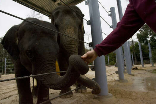 Tess, a 26-year-old Asian elephant due to give birth in the fall 2010, with her 4-year-old calf Tucker, left, get treats Thursday after taking a walk around their enclosure at the Houston Zoo. Photo: Johnny Hanson, Chronicle