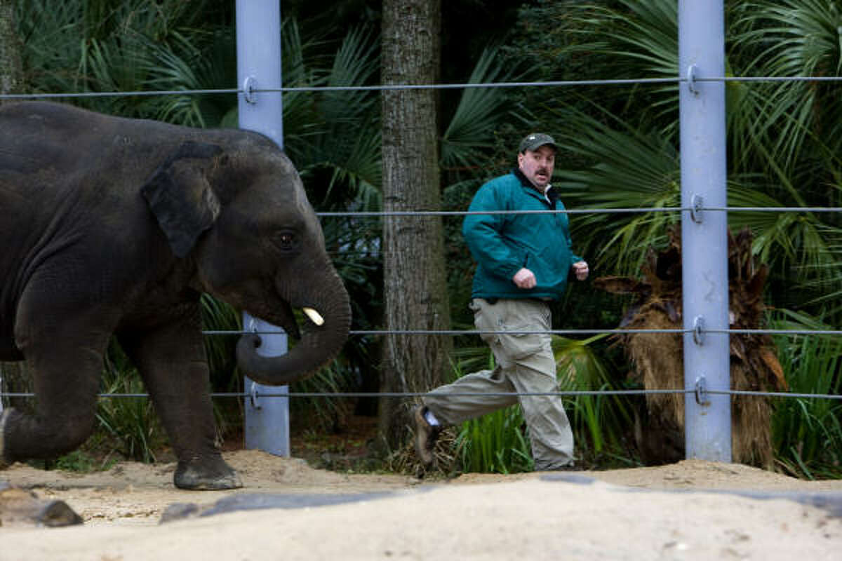 Daryl Hoffman, curator of large mammals at the Houston Zoo, runs Thursday with Tucker, a 4-year-old Asian elephant. The zoo is working with Baylor College of Medicine to thwart a virus that's deadly to Asian elephant calves born in U.S. zoos.