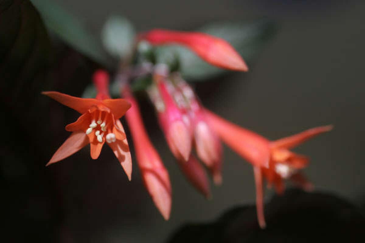 Fuchsia 'Gartenmeister'