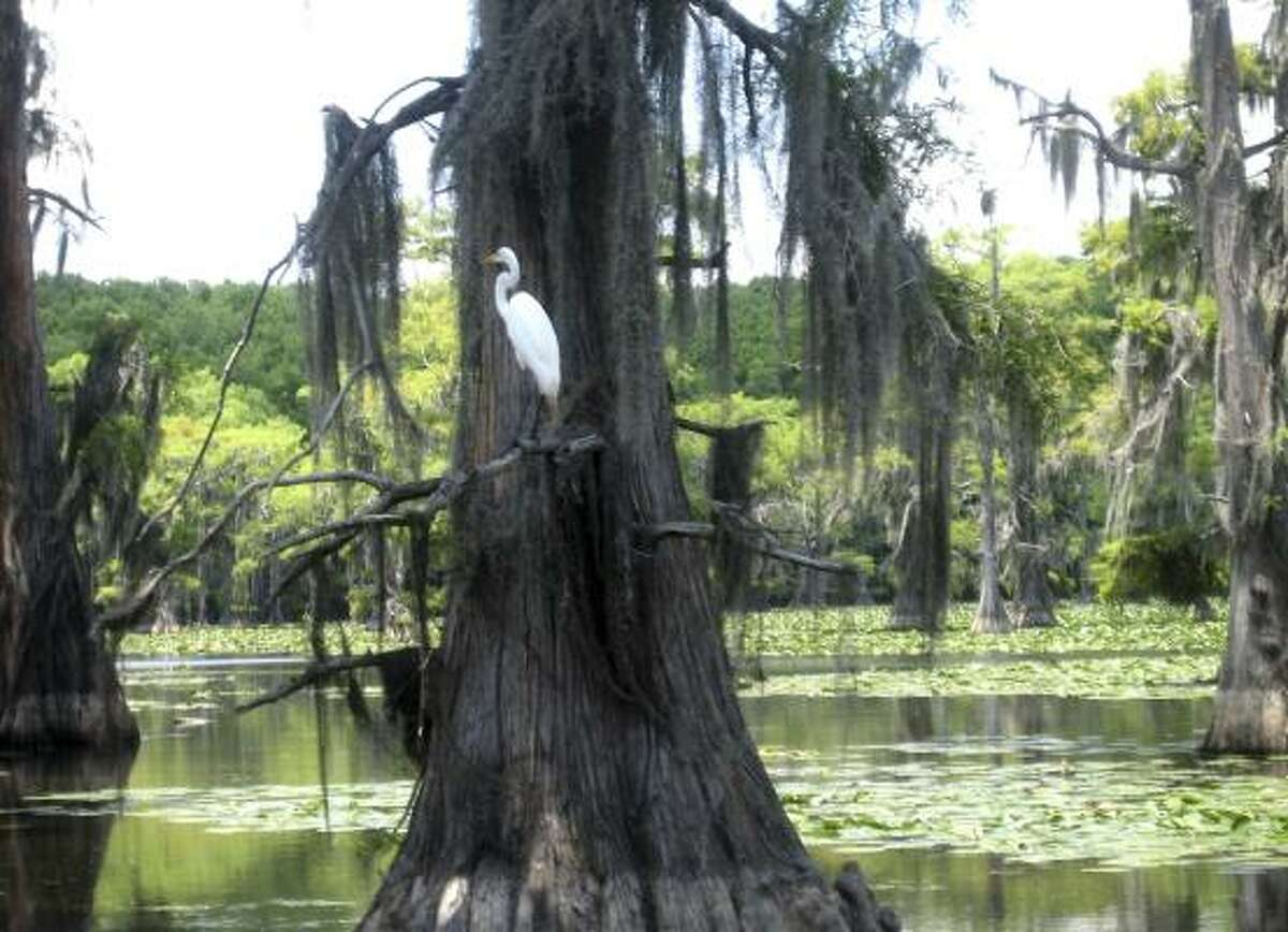 A Great Egret stands on the limb of a cypress tree on Caddo Lake near Uncertain.