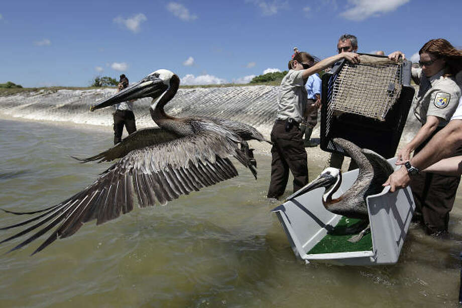 Leaping into flight from a pet carrier, a brown pelican seeks altitude to check out the neighborhood Sunday at San Antonio Bay in the Aransas National Wildlife Refuge. Photo: Jerry Lara, San Antonio Express-News