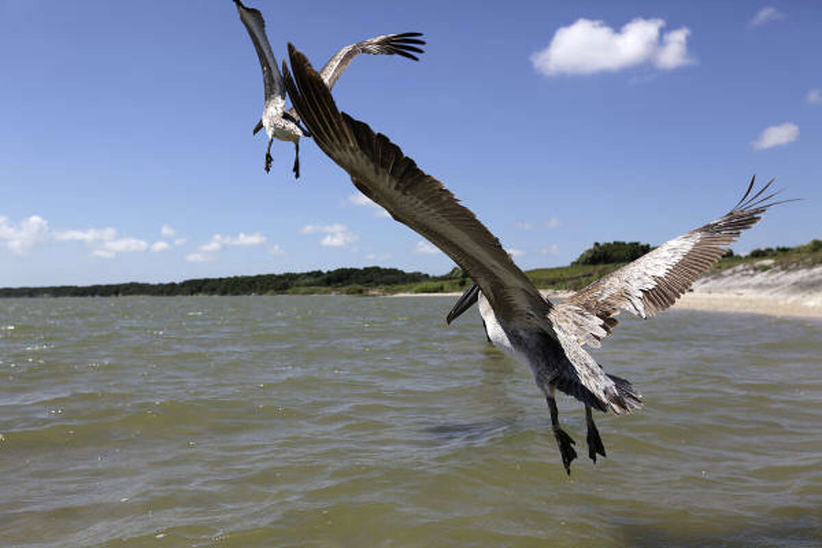 Brown pelicans survey their new home Sunday. In addition to 38 pelicans, one tern was released. The birds were rescued from the oil aftermath of the BP spill.