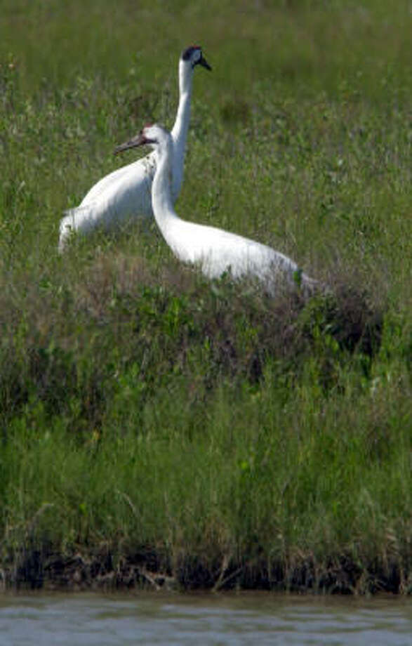 Part of a recovery plan for whooping cranes is to create two self-sustaining flocks in addition to this one that winters at the Aransas National Wildlife Refuge in South Texas. Photo: RON HEFLIN, AP File