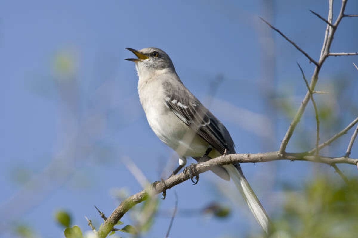 Male birds, like this Northern mockingbird, are singing their spring songs to stake out territory and stir the hearts of females.