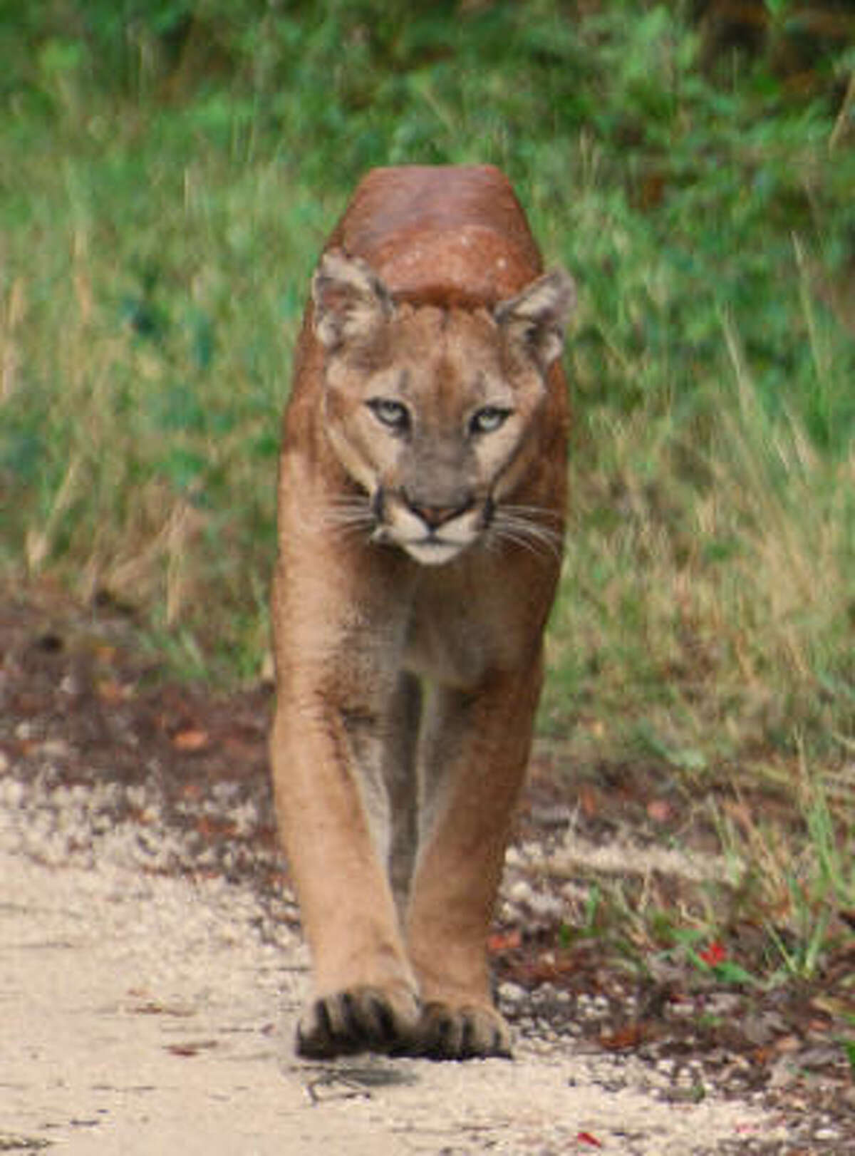 A male Florida panther walks down Jane's Scenic Drive in the middle of the Fakahatchee Strand Preserve State Park.