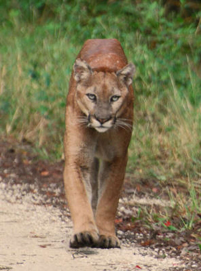 A male Florida panther walks down Jane's Scenic Drive in the middle of the Fakahatchee Strand Preserve State Park. Photo: Image © Science/AAAS