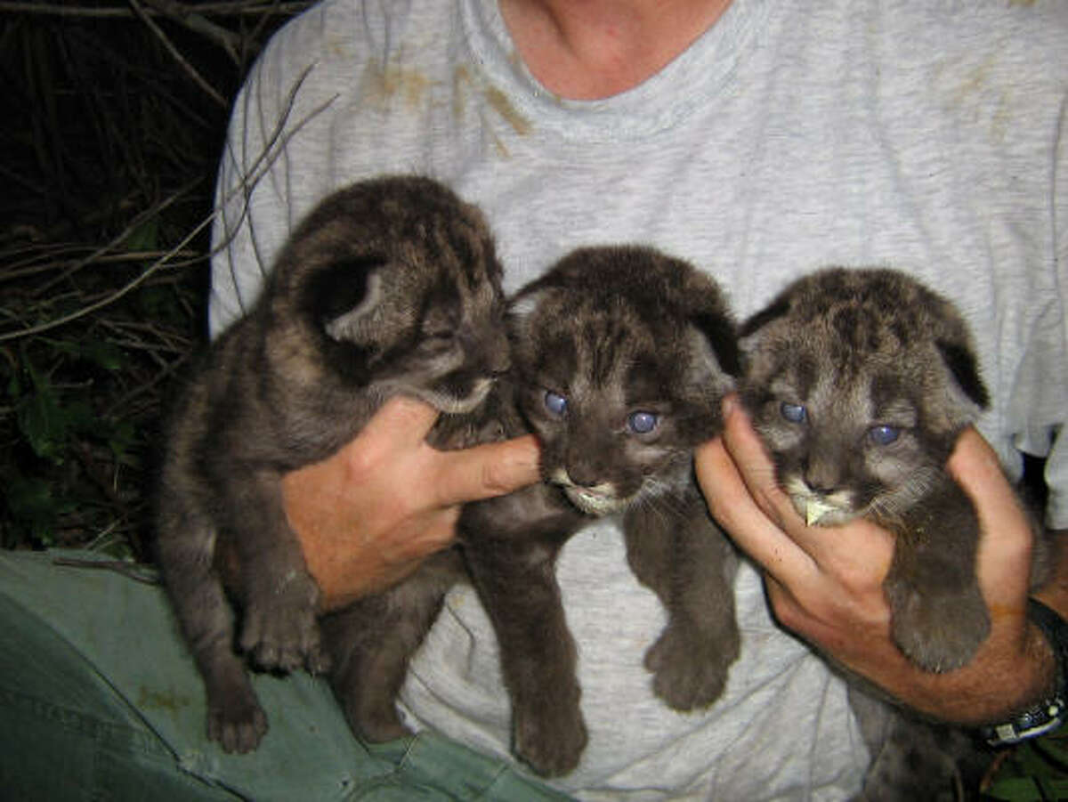 Three Florida panther kittens sampled from the den of female FP94 in Everglades National Park in June 2006.