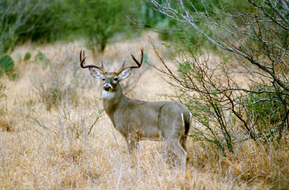 Excellent range conditions during spring and summer triggered superb antler development in Texas bucks this year after a couple of below-average years caused by a two-year drought. Photo: Joe Doggett, For The Chronicle