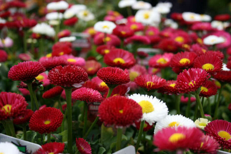 English daisies (Bellis perennis) Photo: Mezuni, Flickr.com