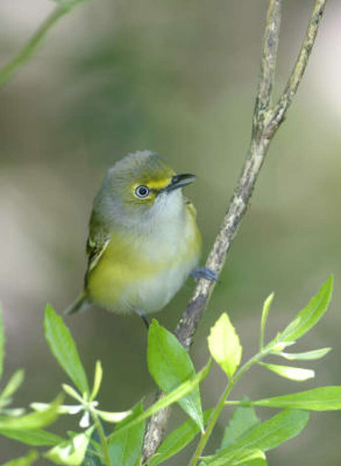 White-eyed vireo, one of the most widespread spring migrants in Texas, can be found in a variety of places across the state. Photo: Kathy Adams Clark