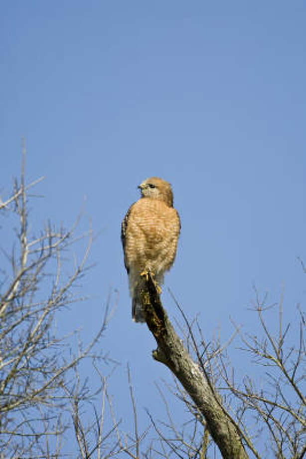 Red-shouldered hawks are conspicuous this time of year as they establish nesting territory and pair with mates. Photo: Kathy Adams Clark