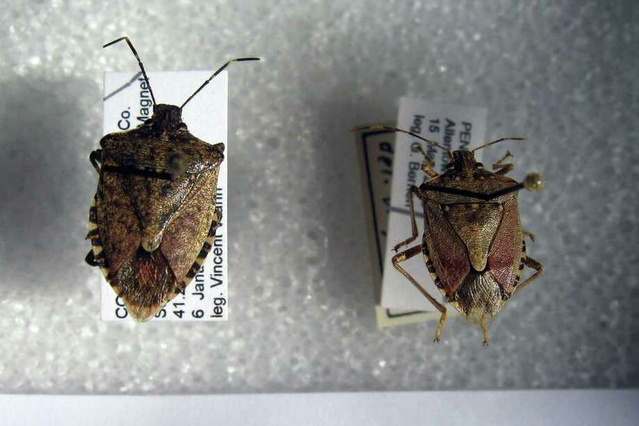 Entomologists in the state are concerned about the brown marmorated stink bug, a native of Asia, which eats a wide variety of fruits and vegetables. It was first seen in Connecticut in 2008. Photo: John Burgeson / Connecticut Post