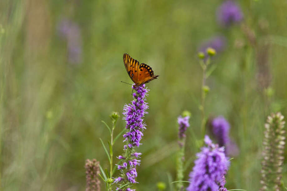 Gulf fritillary and gayfeather blooms are a small part of the treasure trove of nature that can be found on the Katy Prairie in the summer. Photo: Kathy Adams Clark